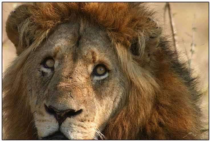 Londolozi_Lion