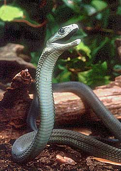 Black Mamba  ( foto:Internet )